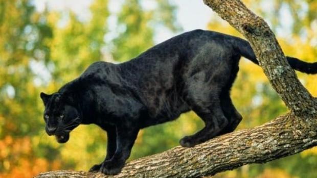 La pantera negra de Ventas de Huelma no deja rastro